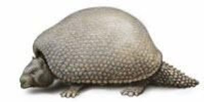 Genome Sequencing Confirms Glyptodont is the Armadillo's Ancestor