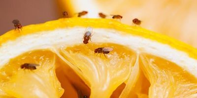 Sugar Alters Compounds That Impact Brain Health in Fruit Flies