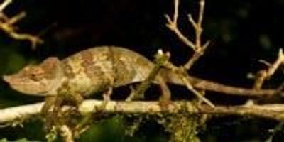 New Chameleon Emerges From Wilds of Tanzania