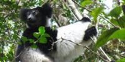 New Way to Detect Human-Animal Diseases Tested in Lemurs