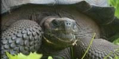 New Giant Tortoise Species Discovered in the Galapagos Archipelago