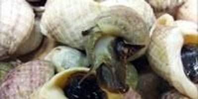Sea Snail Compound Reduces Cancer Risk