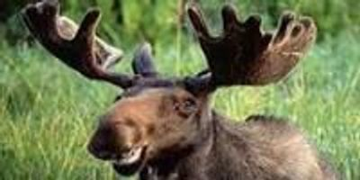 Moose Drool Inhibits Growth of Toxic Fungus