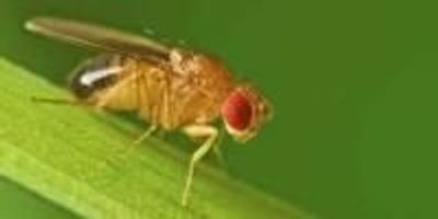 Do Fruit Flies Have Emotions?