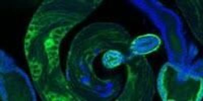 From the Tiny Testes of Flies, New Insight into How Genes Arise