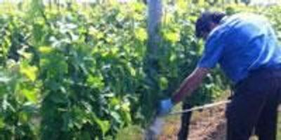 Researchers Study Grapevine Microbiota