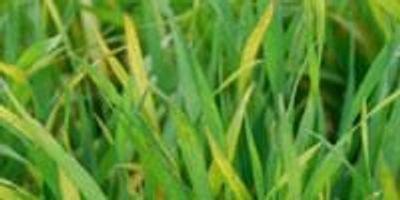 Helping Wheat Defend Itself Against Damaging Viruses
