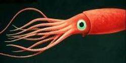 Squid Sucker Ring Teeth Material Could Aid Reconstructive Surgery, serve as Ecopackaging