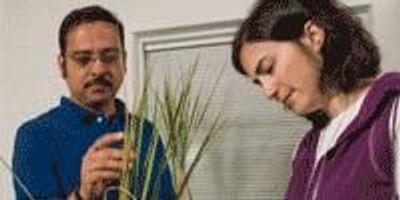 Blunting Rice Disease