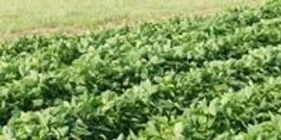 Plant Breeders Release New Crop Varieties for Food, Fiber, Fuel