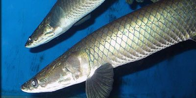 Scientist Reports New Species of Giant Amazonian Fish