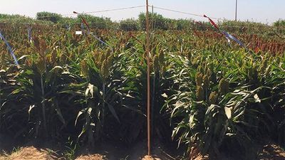 Genomic Gymnastics Help Sorghum Plant Survive Drought