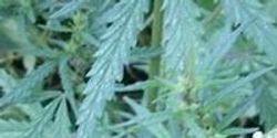 The Origins of Cannabis Smoking: Marijuana Use in the First Millennium BC