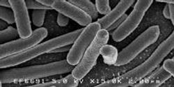 Research Deepens Understanding of Gut Bacteria's Connections to Human Health, Disease