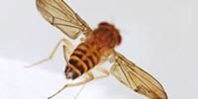 High-Sugar Diet Deadens Sweet Tooth, Promotes Overeating in Flies