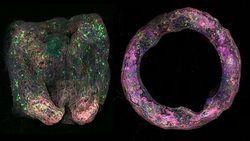 Team Develops First-Of-A-Kind <em>In-Vitro</em> 3D Neural Tissue Model