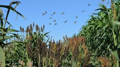 Sorghum Study Illuminates Relationship between Humans, Crops, and the Environment in Domestication