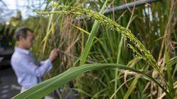 Grain Traits Traced to 'Dark Matter' of Rice Genome