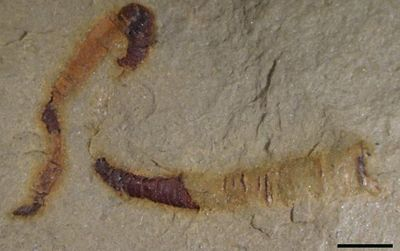 Scientists Find Oldest-Known Fossilized Digestive Tract—550 Million Years