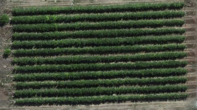 Drones Effective Tools for Fruit Farmers