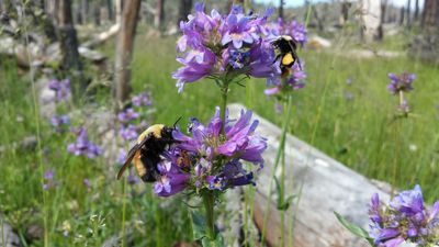 Study Identifies Bumble Bees' Favorite Flowers to Aid Bee Conservation