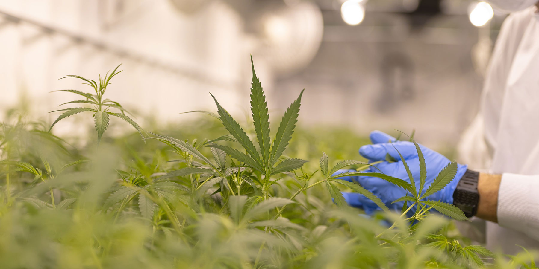 Regulation in Cannabis Testing Labs