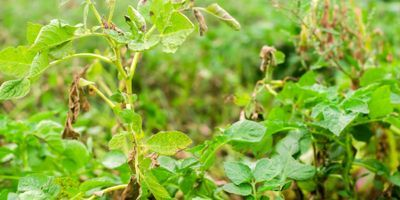 Biologists Develop New Defense in Fight Against Crop Infections