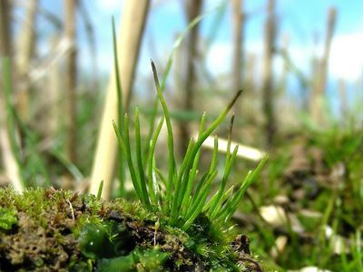 Ancient Hornwort Genomes Could Lead to Crop Improvement