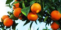 New Technique Could Protect Oranges from Citrus Greening