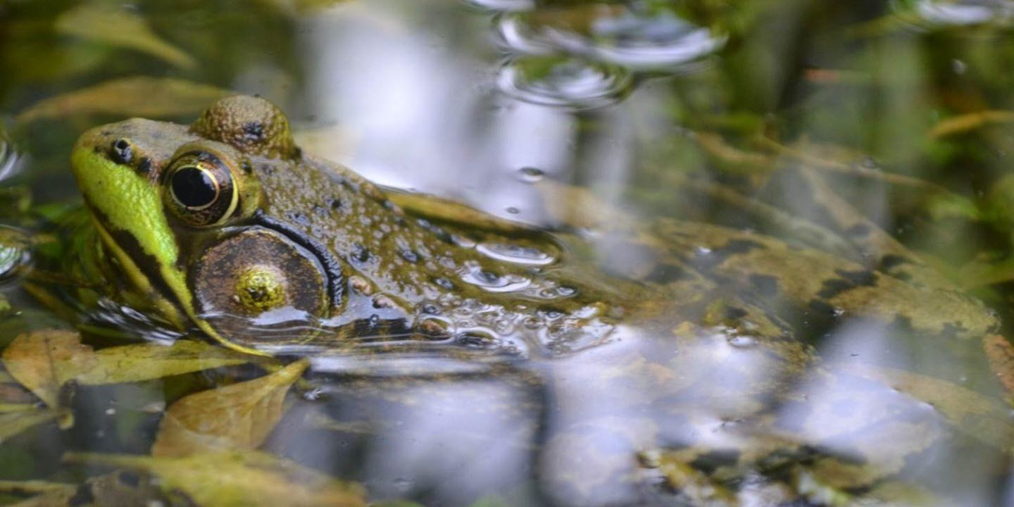 Reanalysis of Global Amphibian Crisis Study Finds Key Flaws