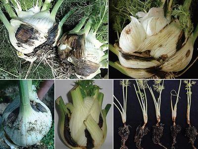 New Pathogen Threatens Fennel Yield in Italy