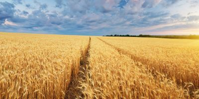 Scientists Find New Tool to Combat Major Wheat Disease