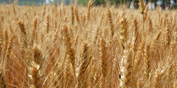 Helpful Genes Identified for Creating a Better Wheat