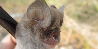 New Bat Species Found—Cousins of Those Suspected in COVID-19