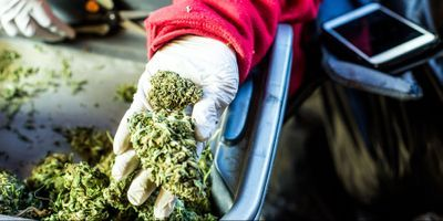 How Much Does It Cost Cannabis Growers to Safety Test?
