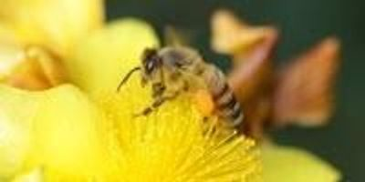 Adhesive Formed from Bee Spit and Flower Oil Could Form Basis of New Glues