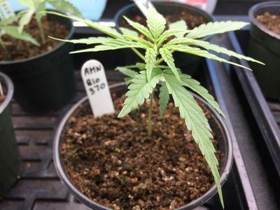 What's the Best Way to Identify Male Hemp Seedlings?