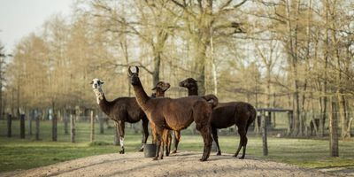 How Llamas Could Help in Fight against COVID-19