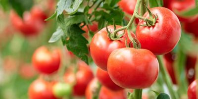 Better Detection of Bacterial Canker Pathogen in Tomatoes