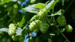 Study: Hop Supplements Safe as Menopause Treatment