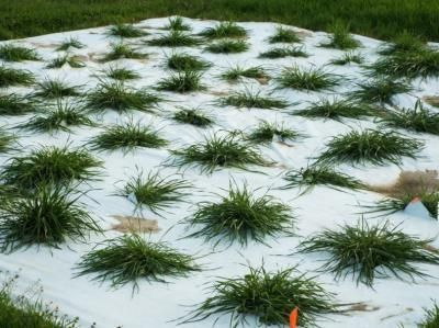 Researchers Develop Heat-Tolerant Annual Ryegrass Germplasm