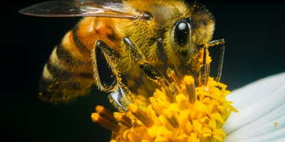 'Bee' Thankful for the Evolution of Pollen