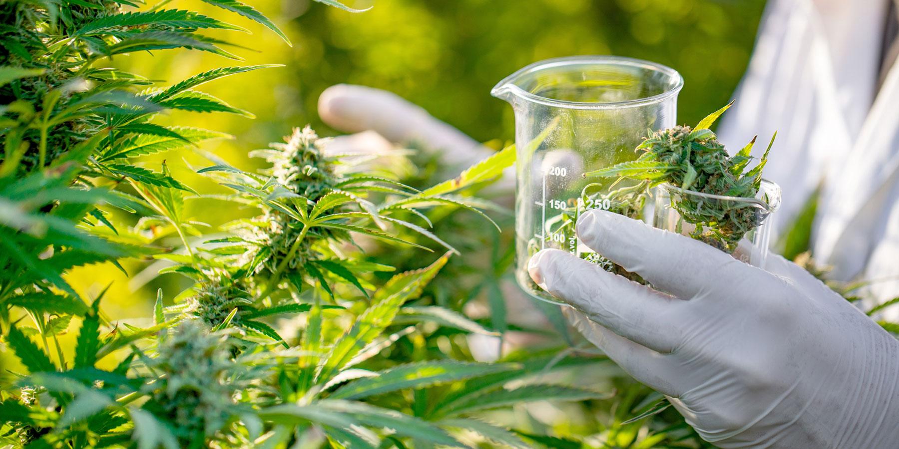 THC Testing in Cannabis and Hemp
