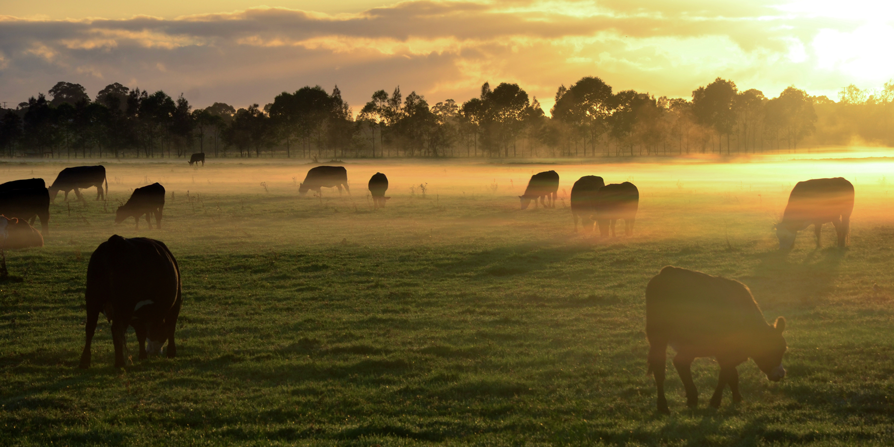 Controlling Cattle Microbiomes for Fewer Greenhouse Emissions