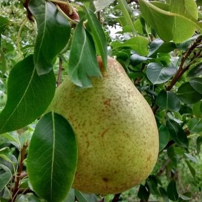 Effects of Potassium Fertilization in Pear Trees