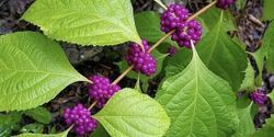 Leaf Extract Restores Drug's Power to Fight 'Superbug'