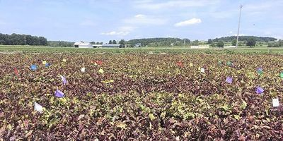 Weather-Based Decisions May Reduce Fungicide Sprays on Table Beets