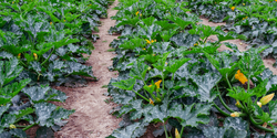 Pesticides Can Protect Crops from Hydrophobic Pollutants