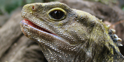 The Curious Genome of the Tuatara, a Reptile in Peril
