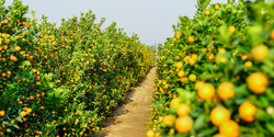 New Tools in the Fight against Lethal Citrus Disease